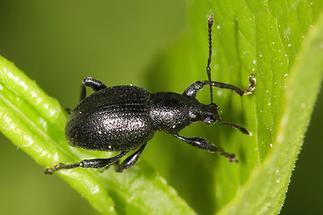 Otiorhynchus fuscipes - Rotfüßiger Lappenrüssler, Käfer auf Blatt