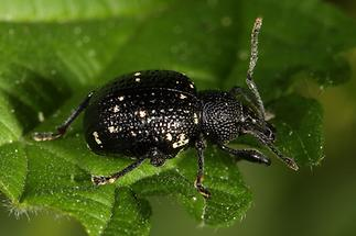Otiorhynchus gemmatus - Hellgefleckter Dickmaulrüssler, Käfer auf Blatt (1)