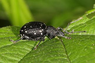 Otiorhynchus gemmatus - Hellgefleckter Dickmaulrüssler, Käfer auf Blatt (2)