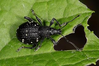 Otiorhynchus gemmatus - Hellfleckiger Dickmaulrüssler, Käfer auf Blatt (3)