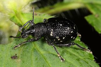 Otiorhynchus gemmatus - Hellgefleckter Dickmaulrüssler, Käfer auf Blatt (5)