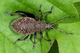 Otiorhynchus ligustici - Luzerne-Dickmaulrüssler, Käfer auf Blatt (1)