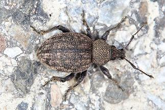 Otiorhynchus ligustici - Luzerne-Dickmaulrüssler, Käfer auf Straße