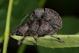 Otiorhynchus ligustici - Luzerne-Dickmaulrüssler, Paar (1)