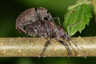 Otiorhynchus ligustici - Luzerne-Dickmaulrüssler, Paar (2)
