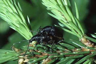 Otiorhynchus niger - Schwarzer Rüsselkäfer, Paar