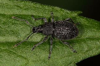 Otiorgynchus pinastri - Schwarzgekörnter Dickmaulrüssler, Käfer auf Blatt