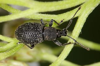 Otiorhynchus pinastri - Schwarzgekörnter Dickmaulrüssler, Käfer auf Stengel der Schafgarbe