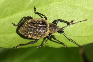 Otiorhynchus salicicola - noch kein dt. Name bekannt, Käfer auf Blatt, eingewandert