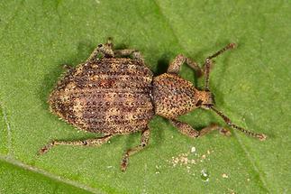 Otiorhynchus scaber - Borstiger Dickmaulrüssler, Käfer auf Blatt