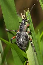 Otiorhynchus sensitivus - kein dt. Name bekannt