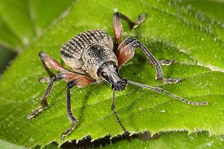 Otiorhynchus sensitivus - kein dt. Name bekannt, Käfer in Frontansicht