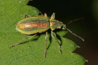 Phyllobius arborator - kein dt. Name bekannt, Käfer auf Blatt (2)