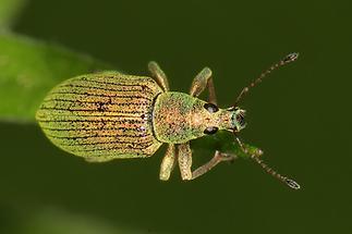 Phyllobius arborator - kein dt. Name bekannt, Käfer auf Blattspitze
