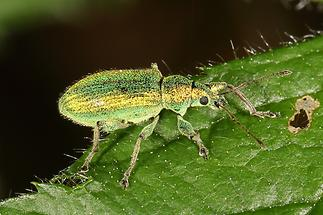 Phyllobius argentatus - Silbriggrüner Laubholzrüssler