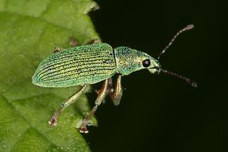 Phyllobius argentatus - Silbriggrüner Laubholzrüssler, Käfer auf Blatt