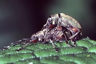 Phyllobius calcaratus - Spornblattrüssler, Paar