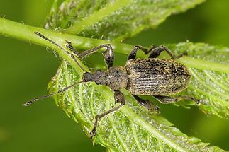 Phyllobius cf. pomonae - kein dt. Name bekannt, Käfer auf Blatt (1)