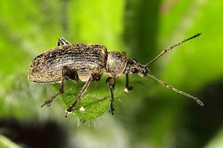 Phyllobius cf. pomonae - kein dt. Name bekannt, Käfer auf Blatt (2)