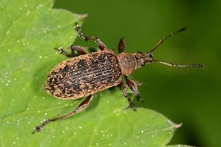 Phyllobius glaucus - Spornblattrüssler, Käfer auf Blatt