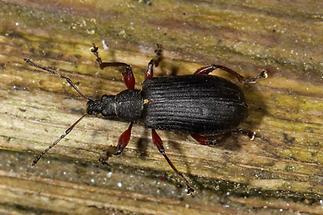 Phyllobius glaucus - Spornblattrüssler, schwarze Variante (1)