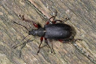 Phyllobius glaucus - Spornblattrüssler, schwarze Variante (2)
