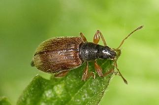 Phyllobius oblongus - Zweifarbiger Schmalbauchrüssler