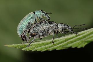Phyllobius pomaceus - Nessel-Blattrüssler, Paar (1)