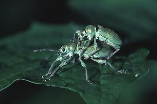 Phyllobius pomacaeus - Nessel-Blattrüssler, Paar (2)