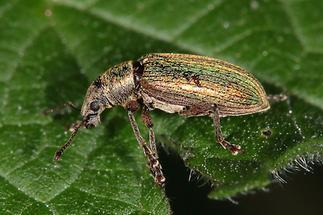 Polydrusus impar - Großer grüner Fichtenrüssler, Käfer auf Blatt (1)