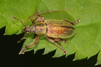 Polydrusus impar - Großer grüner Fichtenrüssler, Käfer auf Blatt (2)