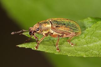 Polydrusus cf. impar - Großer grüner Fichtenrüssler, Käfer auf Blatt (3)