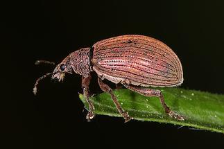 Polydrusus mollis - Kupfriger Glanzrüssler, Käfer auf Blatt (1)