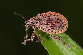 Polydrusus mollis - Kupfriger Glanzrüssler, Käfer auf Blatt (2)