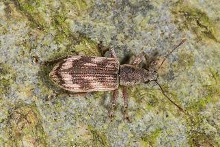Polydrusus undatus - Wellenbindiger Glanzrüssler, Käfer auf Baum, zugeflogen (1)