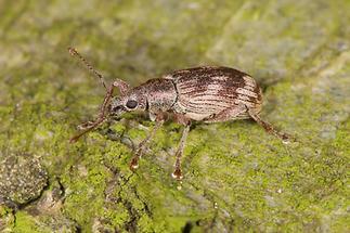 Polydrusus undatus - Wellenbindiger Glanzrüssler, Käfer auf Baum, zugeflogen (2)