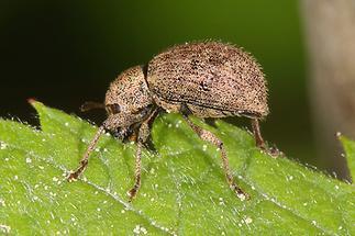 Sciaphilus asperatus - kein dt. Name bekannt, Käfer auf Blatt