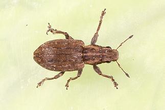 Sitona lepidus - kein dt. Name bekannt, Käfer auf Klosterwand