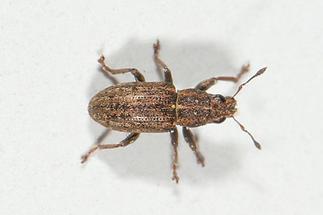 Sitona sulcifrons - Furchenkopf-Blattrüssler, Käfer auf Mauer (1)