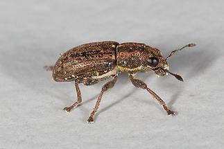 Sitona sulcifrons - Furchenkopf-Blattrandrüssler, Käfer auf Mauer (2)