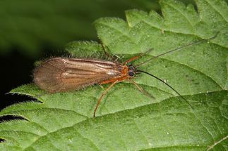 Chaetopteryx villosa - kein dt. Name bekannt (1)