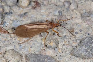 Chaetopteryx villosa - kein dt. Name bekannt (2)