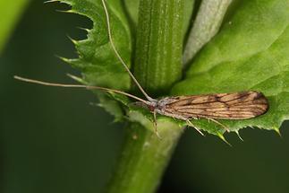 Odontocerum albicorne - kein dt. Name bekannt (1)
