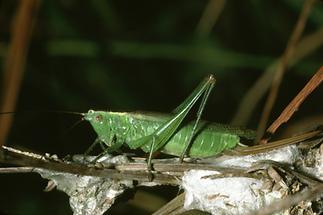 Conocephalus discolor - Langflügelige Schwertschrecke, Weibchen