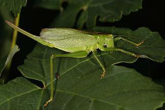 Tettigonia cantans - Zwitscherschrecke, Weibchen