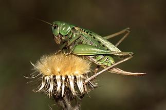 Decticus verrucivorus - Warzenbeißer, Weibchen
