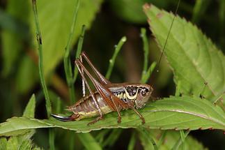 Metrioptera roeseli - Roesels Beißschrecke, Weibchen