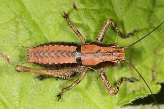 Pholidoptera griseoaptera - Gewöhnliche Strauchschrecke, Larve