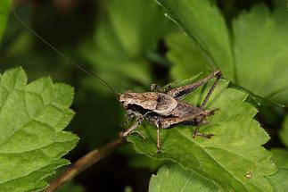 Pholidoptera griseoaptera - Gewöhnliche Strauchschrecke, Männchen