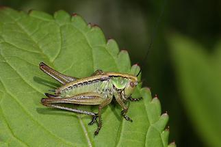 Pholidoptera griseoaptera - Gewöhnliche Strauchschrecke, junges Weibchen